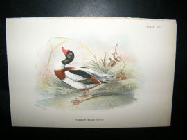 Allen 1890's Antique Bird Print. Commn Sheld Duck